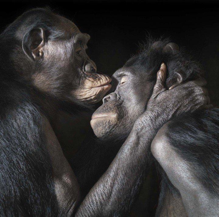 Chimpanzé - Dia Internacional dos Direitos Animais